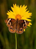 Common Buckeye butterfly, Junonia coenia, on a bright yellow Coreopsis flower on a late spring evening poster