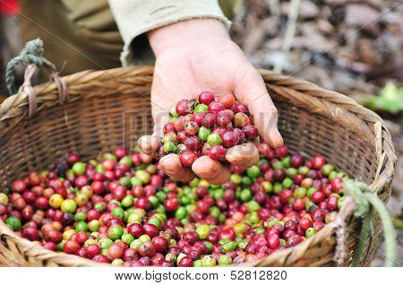 Red berries coffee beans.