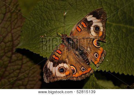 Brown and orange Buckeye butterfly