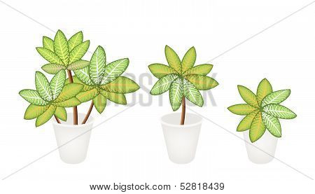 Dieffenbachia Picta Marianne Plants In Three Flower Pot