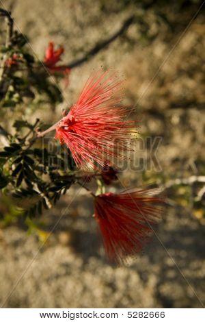 Callistemon Rigidus Or Bottle Brush Blooming In Baja Mexico