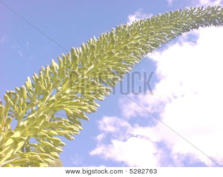 the skys the limit agave attenuata fox tail flower poster