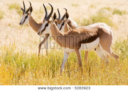 Three Young Springbok In The Kalahari Desert