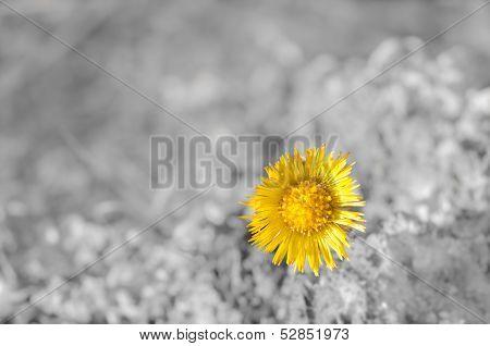Beautiful Yellow Coltsfoot Wildflower