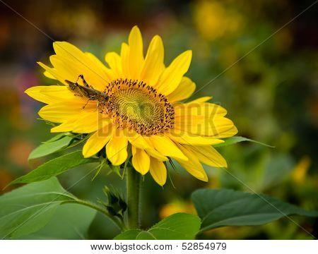Grasshopper On A Sunflower