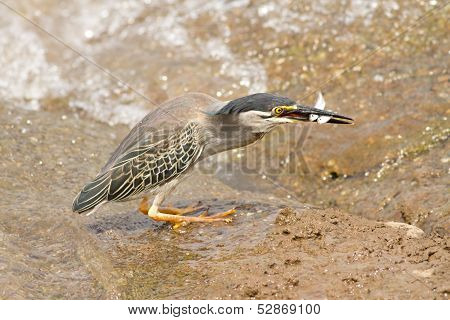 Green Heron Butorides Virescens With Double Fish Catch