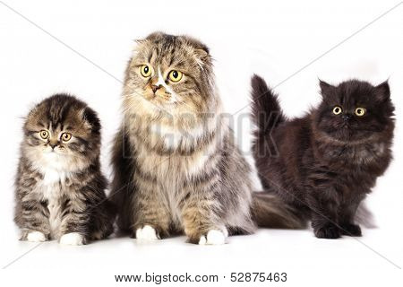 mom and pap breed Scottish Fold kittens