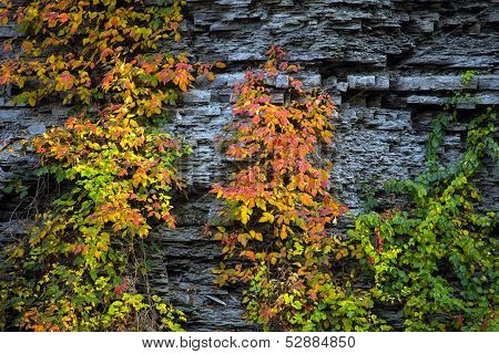 Plant With Red And Yellow  Leaves On Rock Wall