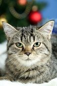 Cat on plaid on Christmas tree background poster