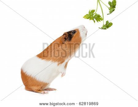 Guinea-pig Is Smelling Verdure