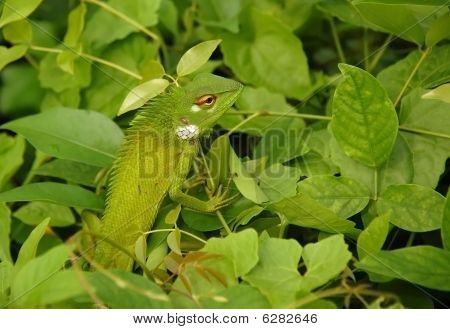 Variable Lizard In The Green Background