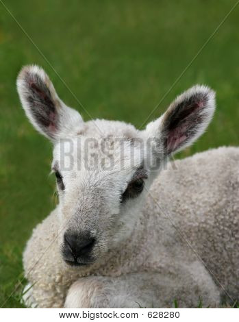 Face of a new born lamb sitting in a field in spring. poster