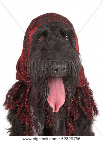 Black Russian Terrier (brt Or Stalin's Dog)