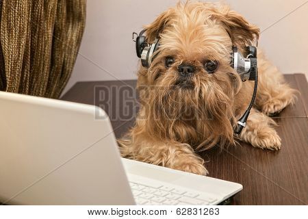 poster of Dog breed Griffon Bruxellois sits near the laptop headphones