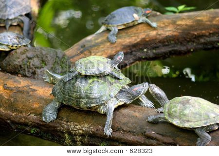 turtle family on a log poster