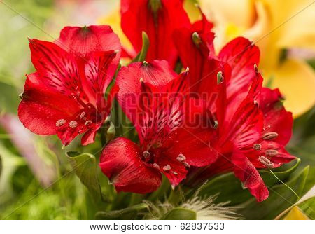Spring Lilly Bouquet Of Alstromeria