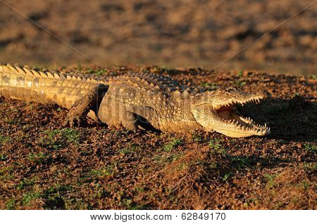 Nile crocodile (Crocodylus niloticus) resting on land with gaping jaws, South Africa