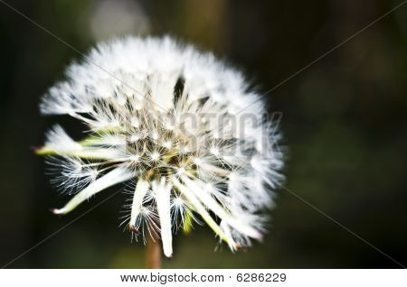 Macro Closeup of a dandelion