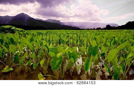 Beautiful Image of the ancient Taro Fields of Kauai