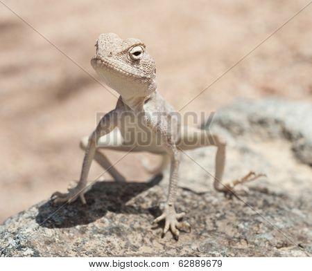 Egyptian Desert Agama Lizard On A Rock