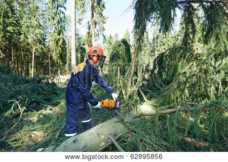 Lumberjack logger worker in protective gear cutting branch of timber tree in forest with chainsaw