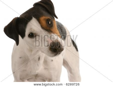 jack russel terrier portrait on white background poster