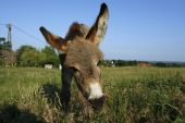 Donkey foal at green meadow with blue sky poster