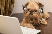 Dog breed Griffon Bruxellois sits near the laptop headphones poster