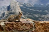 Nice Image of a squirrel in yosemite with Half Dome in background. poster