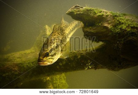 Underwater Largemouth Bass In Florida