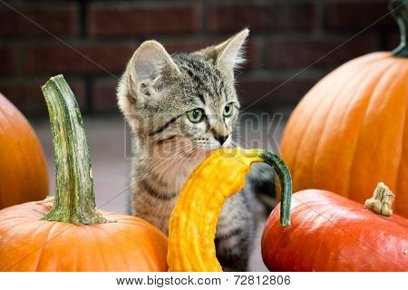 Autumn Kitten