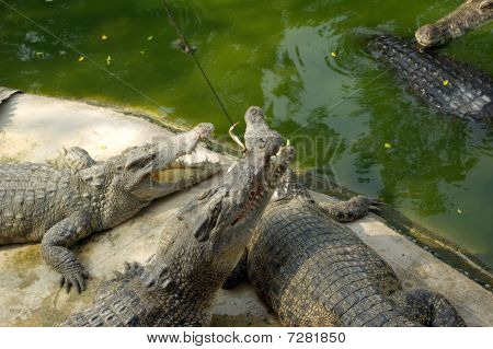 Feeding of crocodiles on crocodile farm Thailand poster