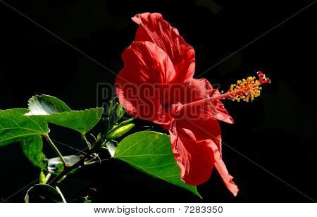 Red Chinese rose ( Hibiscus rosa-sinensis)