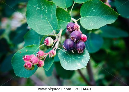 Saskatoon Berry plant and fruit in spring. poster