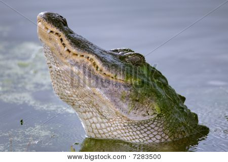A close-up view of an American Alligator (Alligator mississippiensis) during a courtship growl. Shot at Brazos Bend State Park Needville Texas. Needville is located southwest of Houston. poster