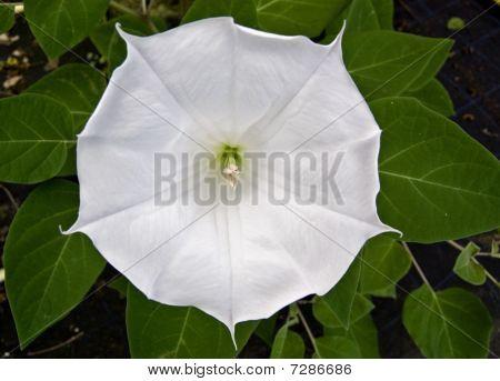 Datura white flower