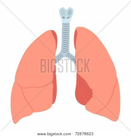 Anatomic Lungs Illustration On White Background