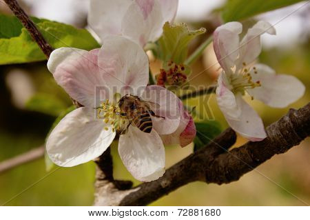 Honey Bee On Spring Blossom Peach Flower