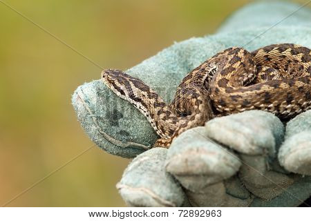 Beautiful Meadow Viper On Glove