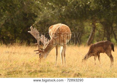 Fallow Deer Stag  Grazing