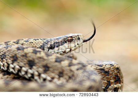 Meadow Viper Portrait