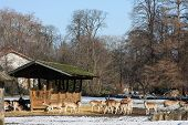Deer looking for food in the park during last winter poster