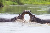 Two huge male hippos fight in water for the best territory poster