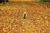 Small dog stomping on carpet of yellow autumn leaves. Shallow depth of field soft focus poster