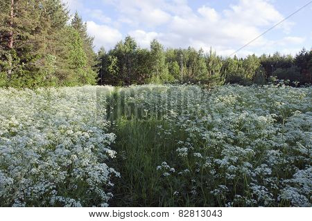 Jogging tracks surrounded of Anthriscus sylvestris, cow parsley.