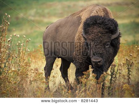 An image of the American Bison in Wichita Mountains Wildlife Refuge