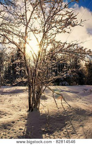 Sun Shines Through A Snow Covered Tree
