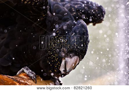 Red-tailed Black Cockatoo Taking A Bath