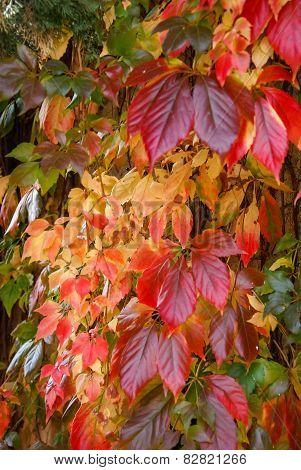Autumn Leaves, Girlish Grapes