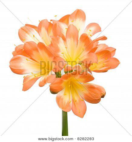 Orange Clivia Miniata